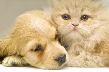 gold dog & cat cuddling