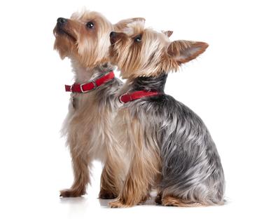 Yorkie dogs sitting